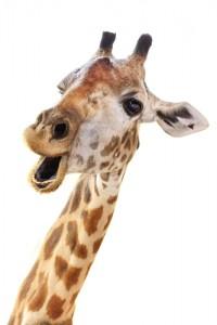 Screaming in giraffe